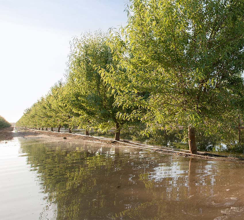 A flooded almond orchard
