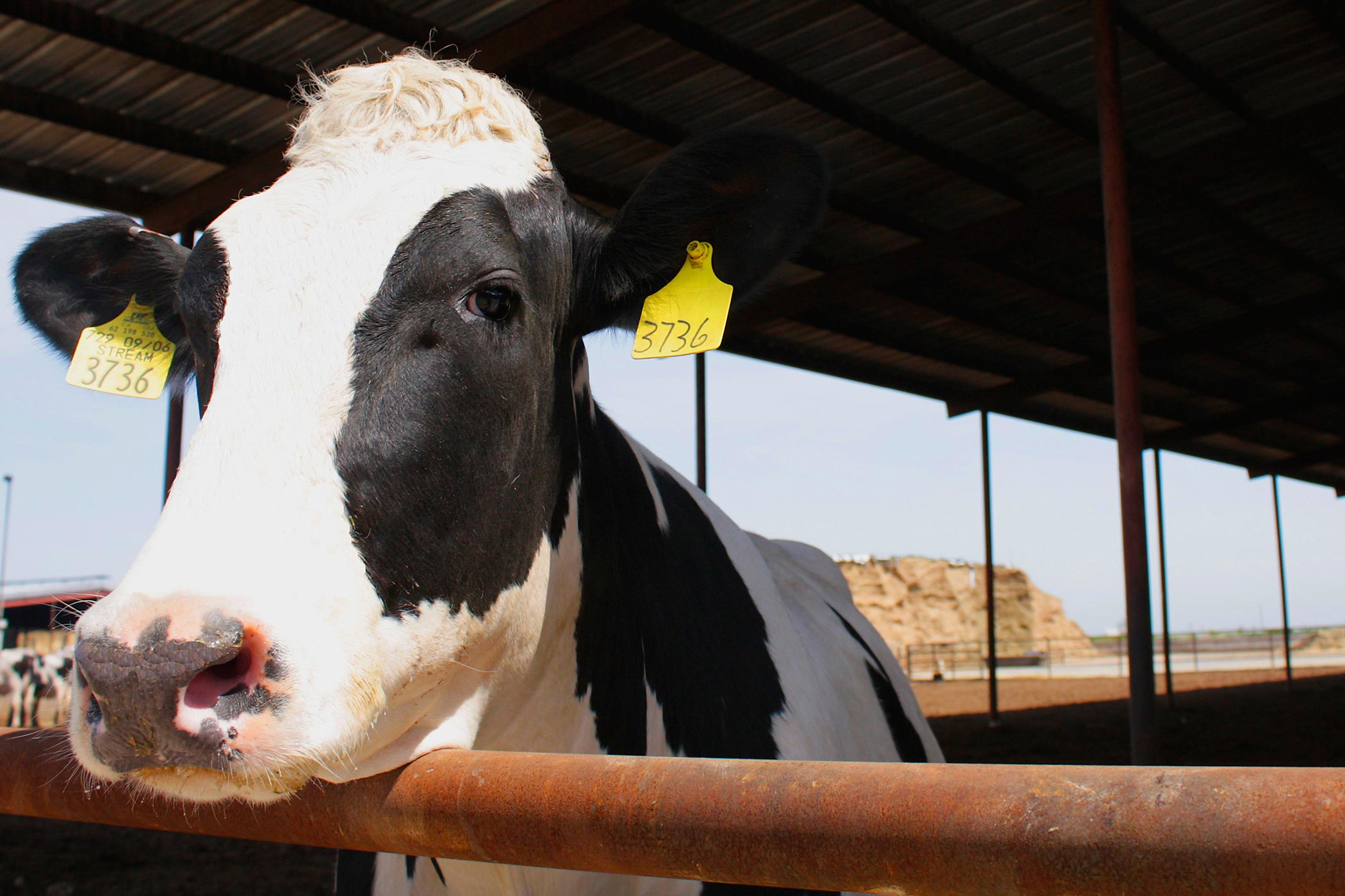 A cow at Fiscalini Dairy