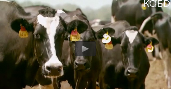 KQED Video about Cow Power