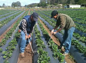 Farmers in the Salinas Valley measure soil moisture. Photo: Lisa Lurie.