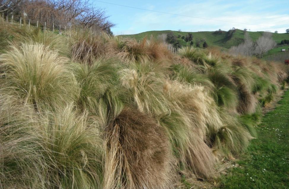 Invasive Mexican feathergrass