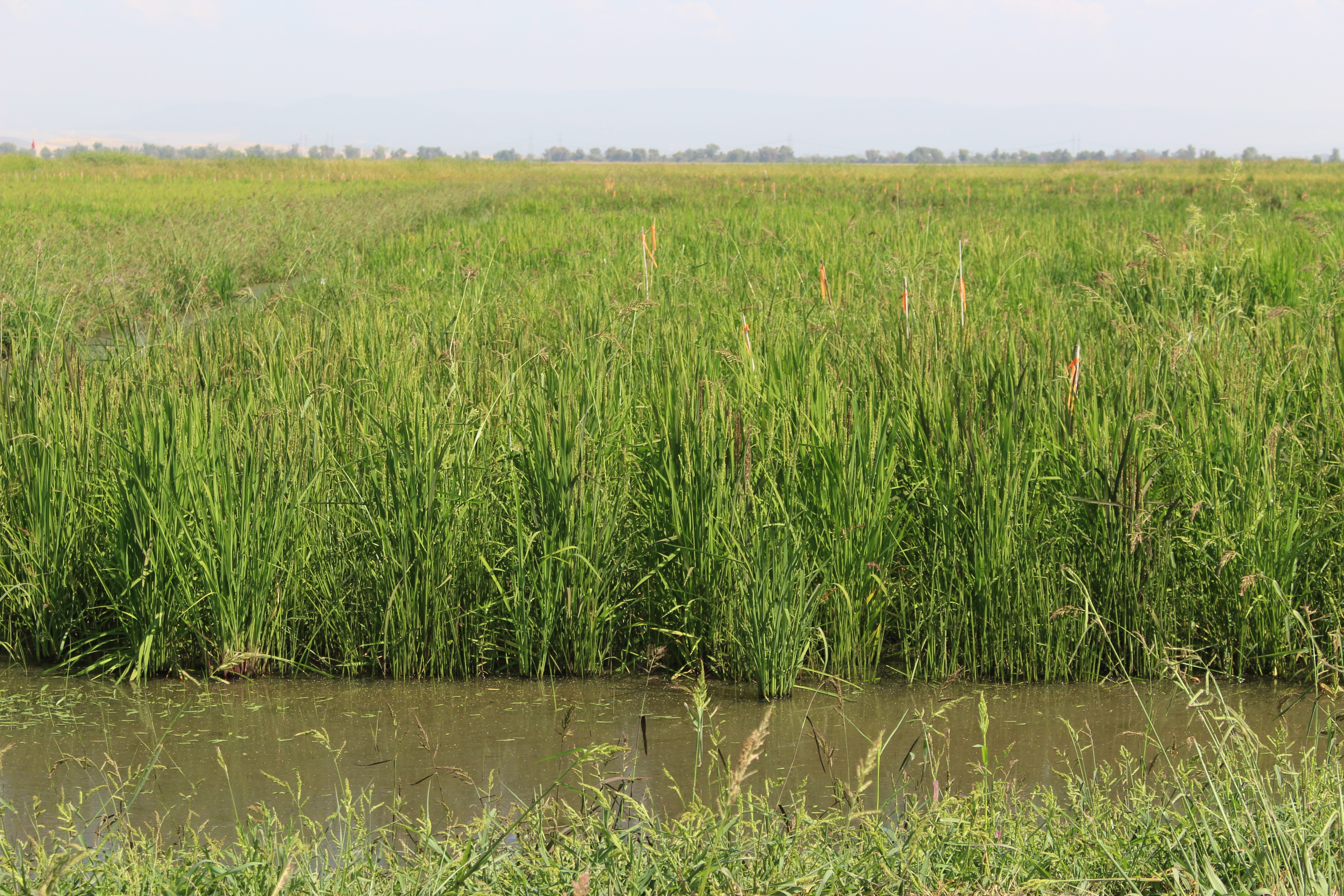 A picture of a flooded rice field on a sunny day