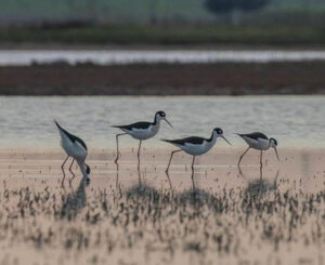 Four black-necked stilt forage for food in a wetland - part of a recharge basin.